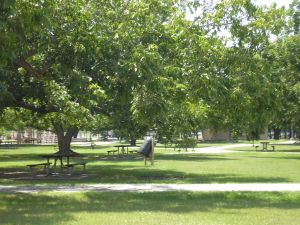 Pecan Trees  At Cullen Park