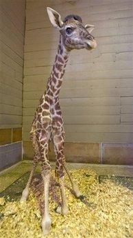 Giraffe Houston
