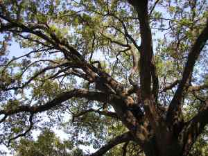 Big oak tree since I have none in my yard.